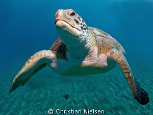 Healthy green turtle above the volcanic sand, El Puertito... by Christian Nielsen 